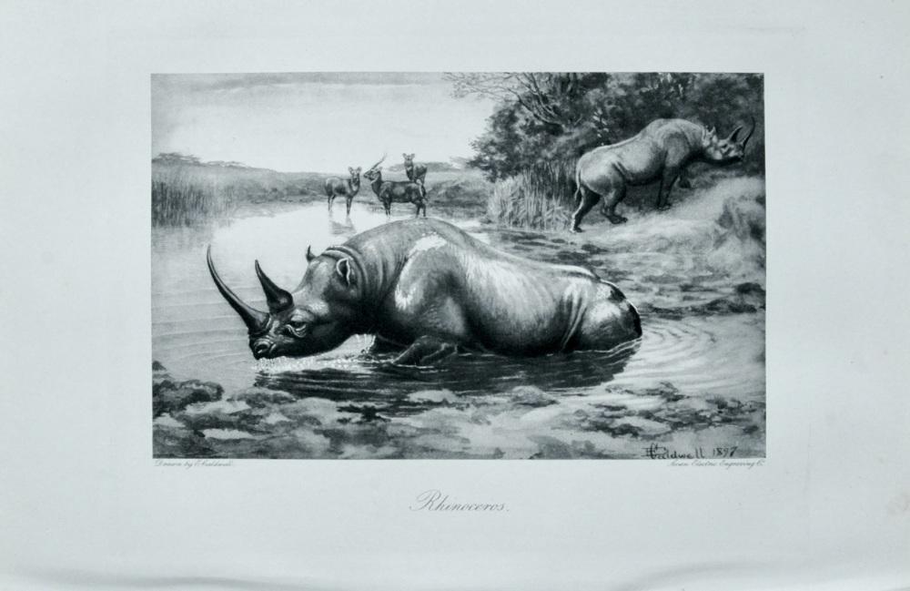 Rhinoceros - 1898