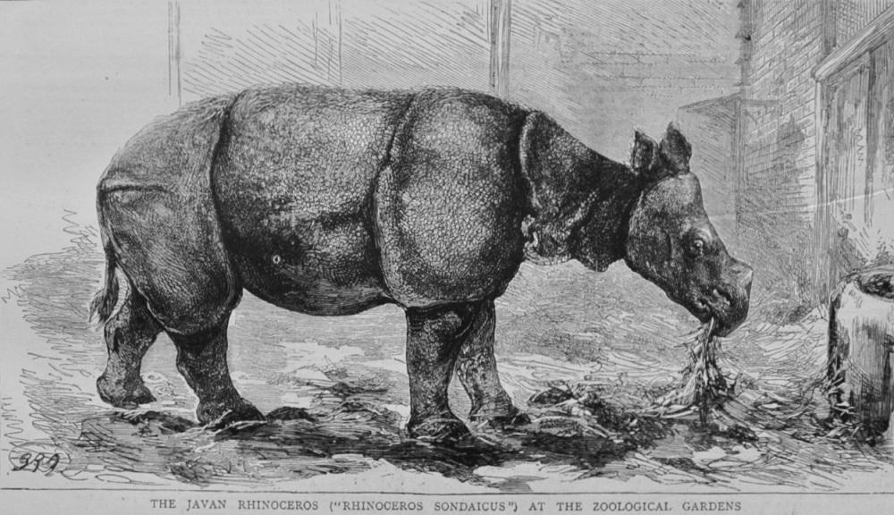 The Javan Rhinoceros at London Zoo - 1874