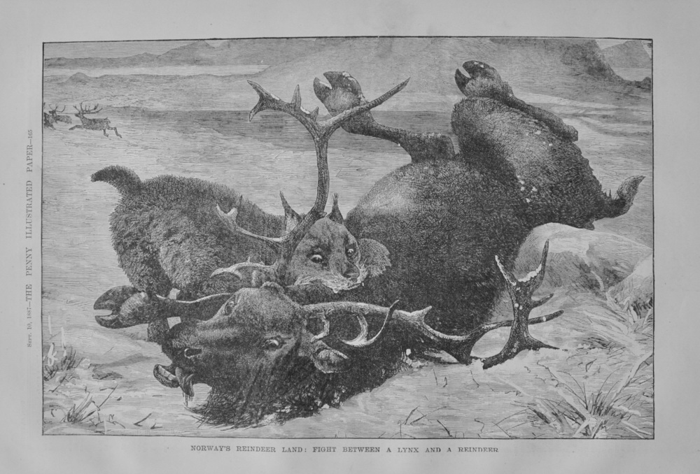 Fight between a Lynx and a Reindeer - 1887