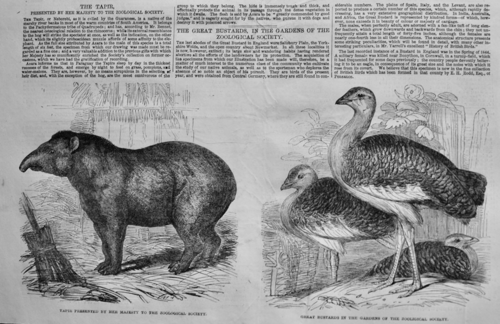 The Great Bustards in the Gardens of the Zoological Gardens.  1847.