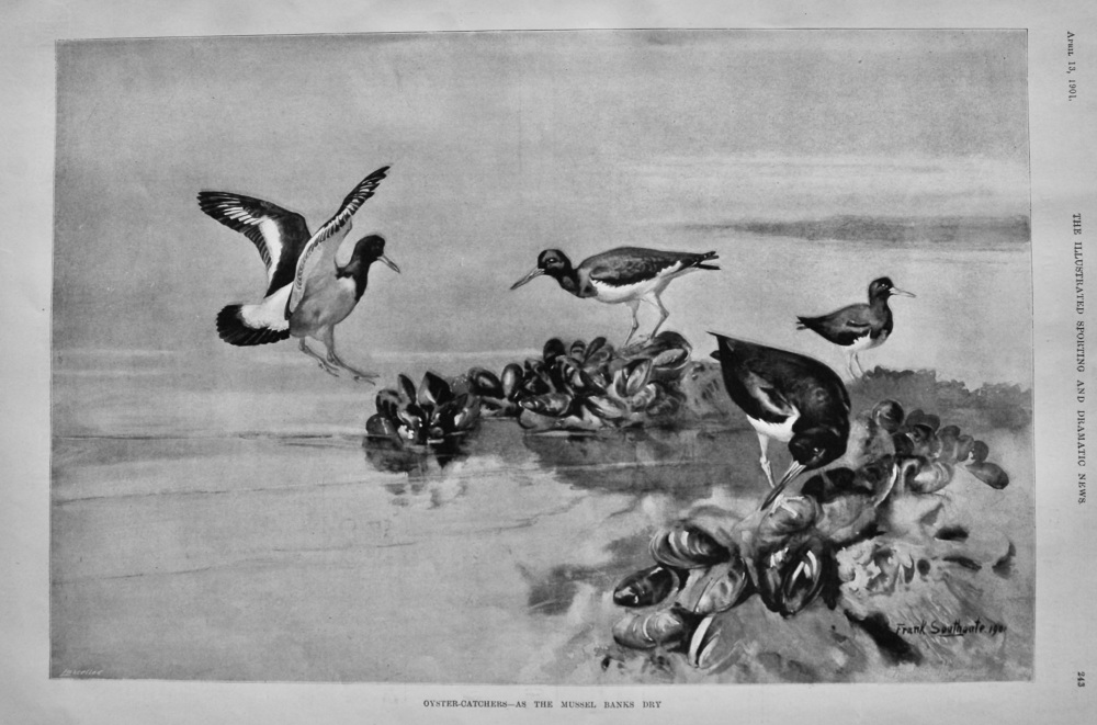 Oyster-Catchers- As the Mussel Banks Dry.  1901.