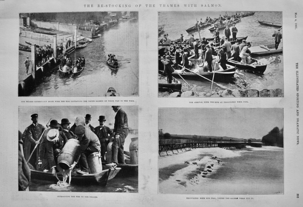 The Re-Stocking of the Thames with Salmon.  1901.