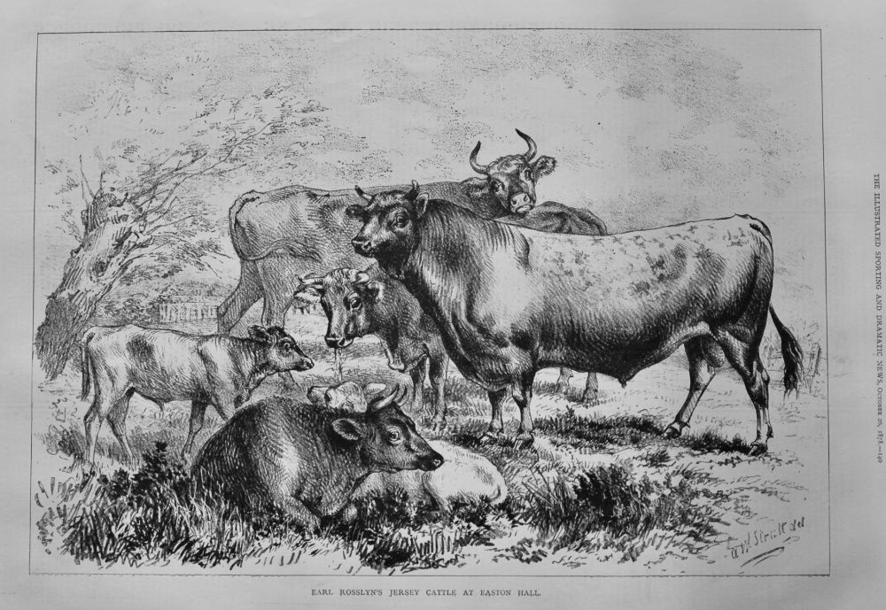 Earl Rosslyn's Jersey Cattle at Easton Hall.  1878.