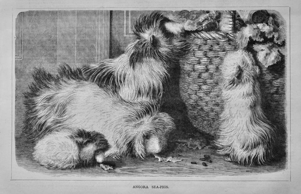 Angora Sea-Pigs.  1878.