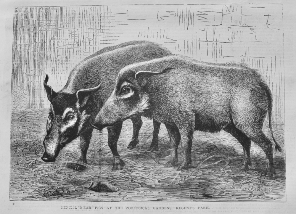 Pencilled-Ear Pigs at the Zoological Gardens, Regent's Park.  1878.