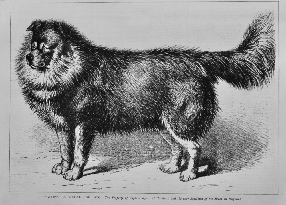 """Nero,"" A Nepaulese Dog.- The Property of Captain Ryan, of the 63rd, and the only specimen of his Breed in England. 1879."