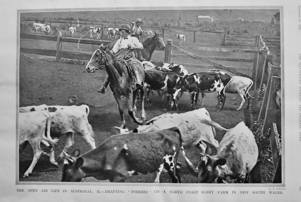 """The Open Air Life in Australia.  II.- Drafting """"Poddies"""" on a North Coast Dairy Farm in New South Wales.  1921."""