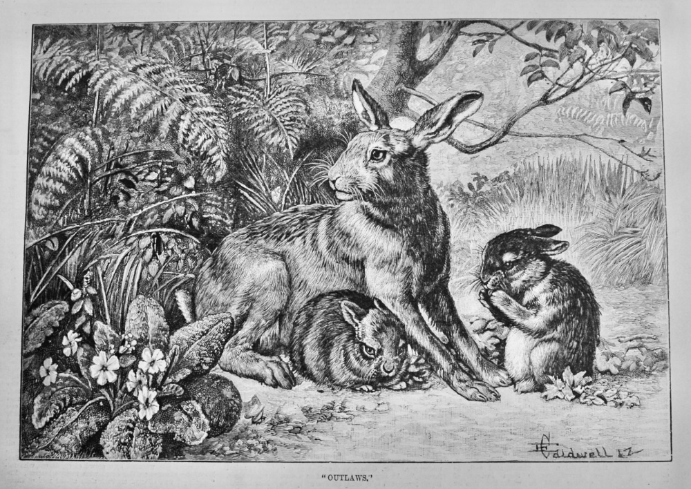 """""""Outlaws.""""  (Rabbits)  1887."""