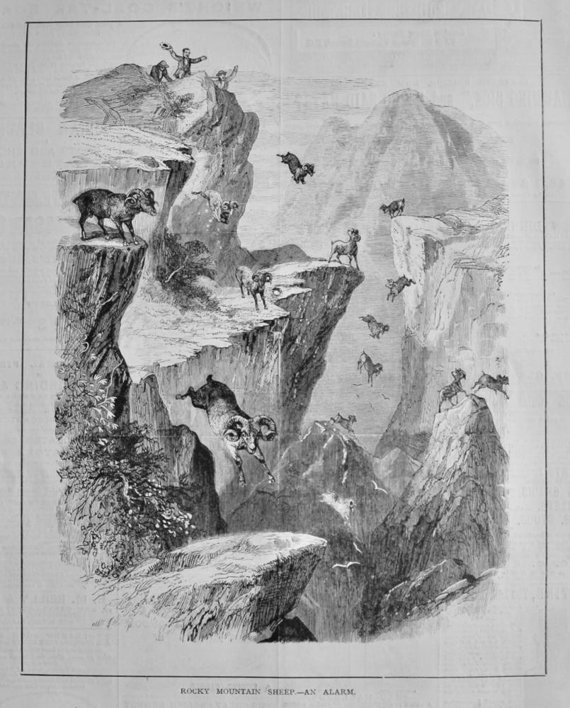 Rocky Mountain Sheep.- An Alarm.  1878.