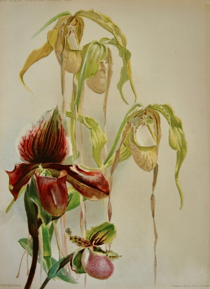 Butterfly Orchid - 1895