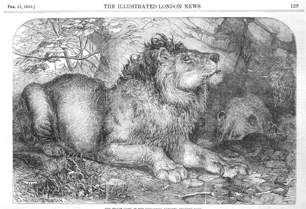 The Indian Lions, at the Zoological Gardens in the Regent's-Park.
