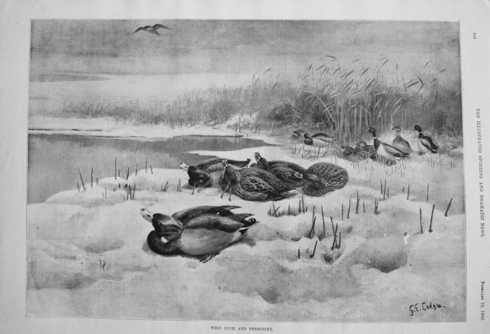 Wild Duck and Peregrine. 1900