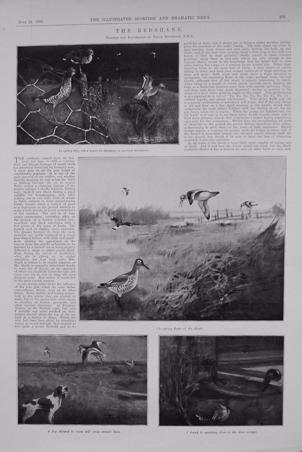 The Redshank. 1909