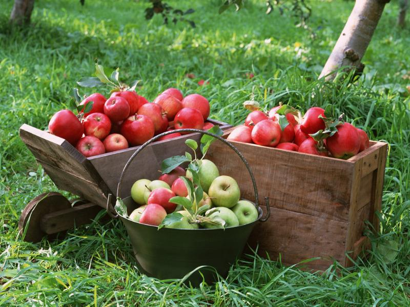 1. apples collected