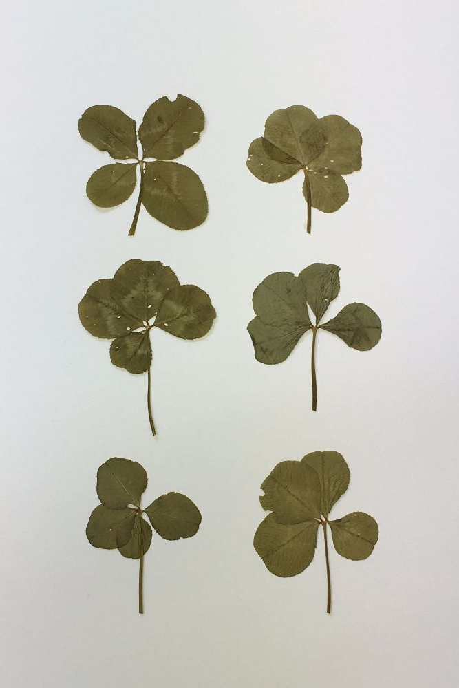 Four Leaf Clovers ~ Good Luck Charms