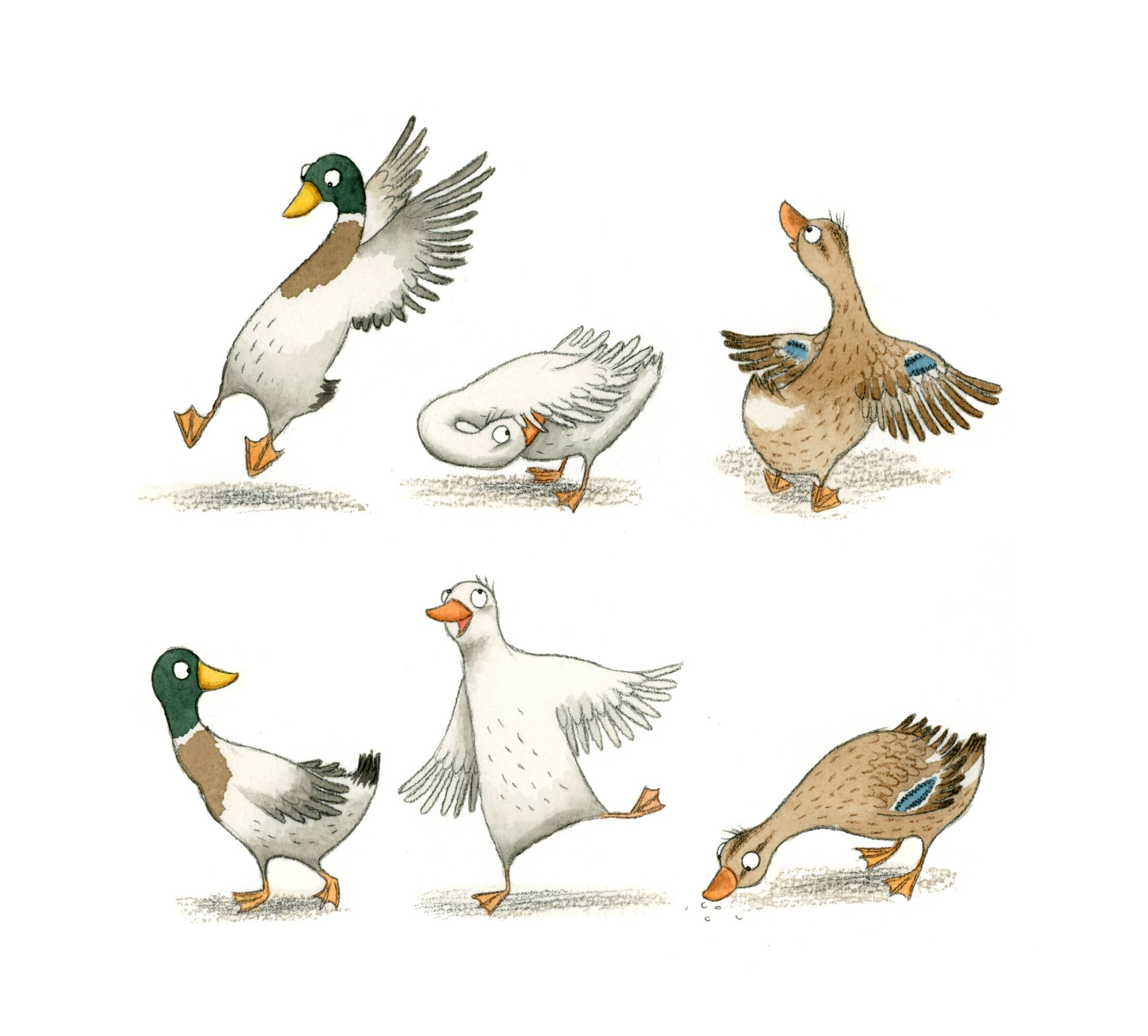 Duck illustrations