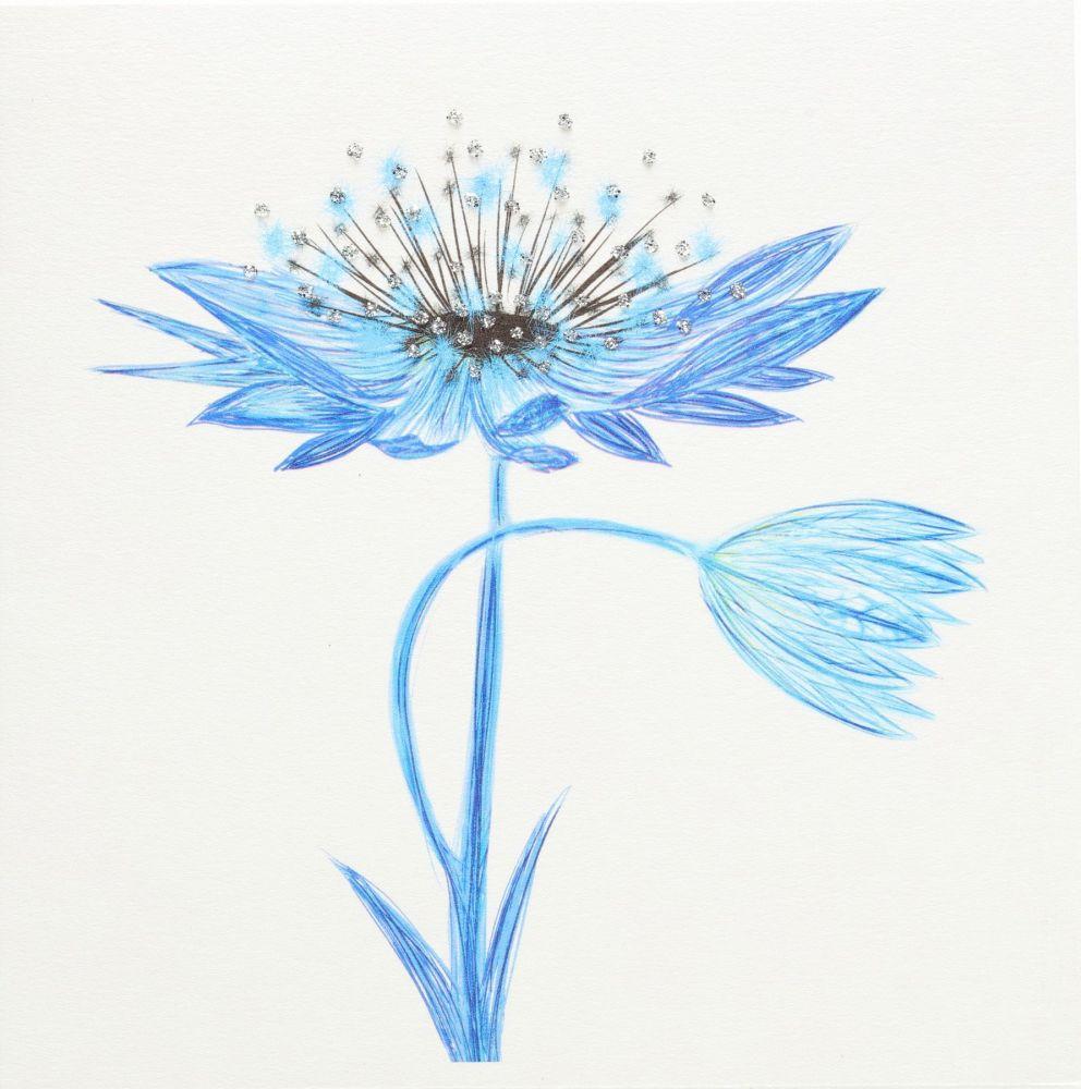 Astrantia Blue