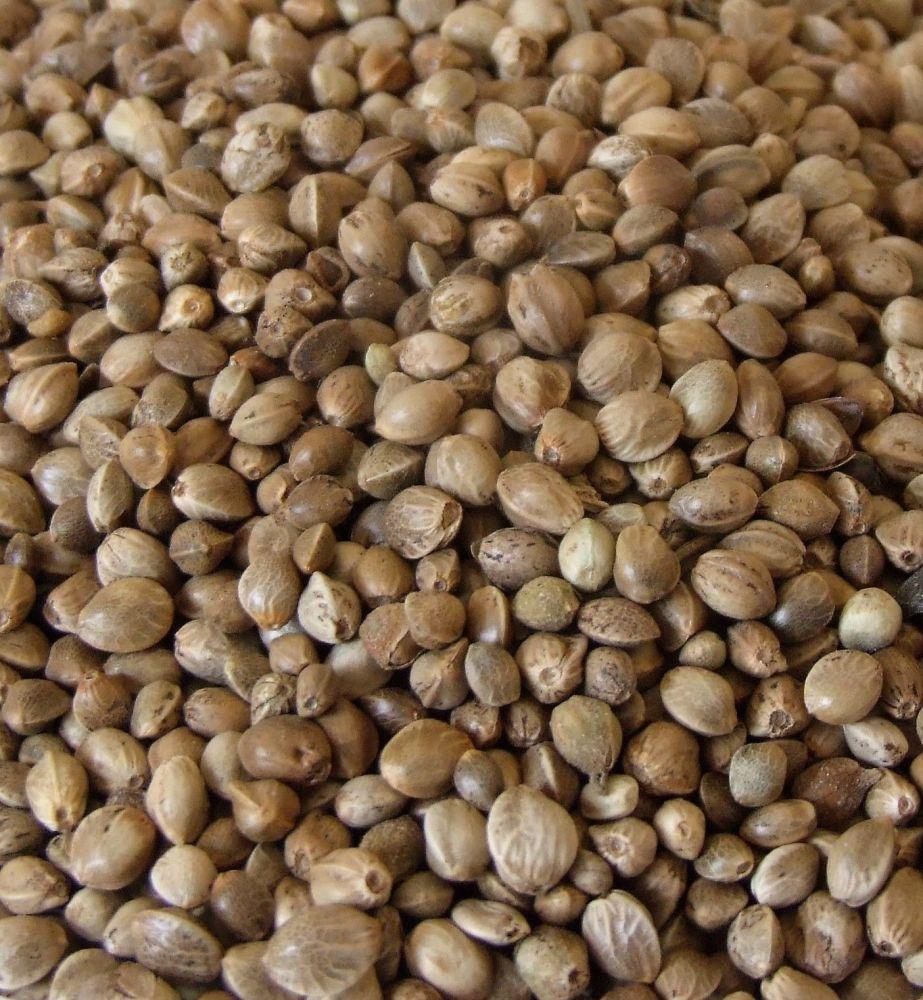 5kg Standard Hemp Seed, Clean Seed