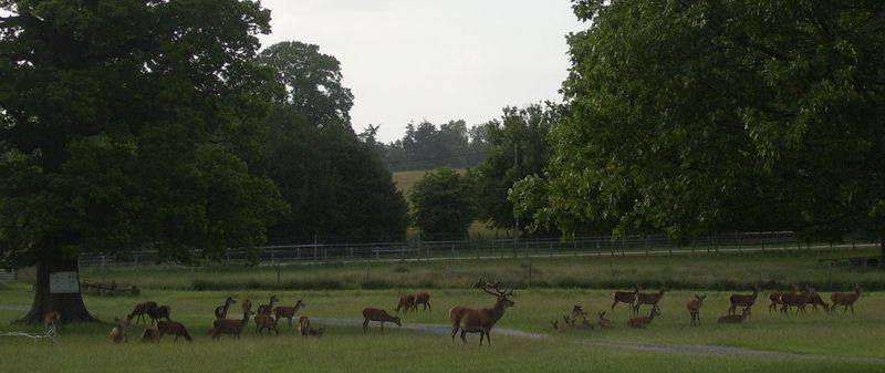 deer at Burley 3