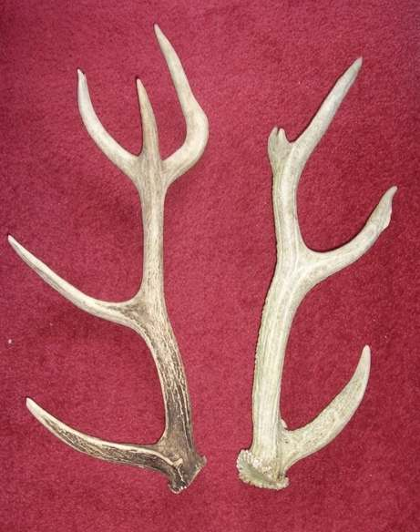 antlers 001