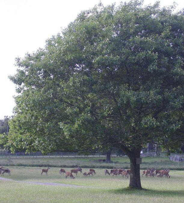 deer and oak tree