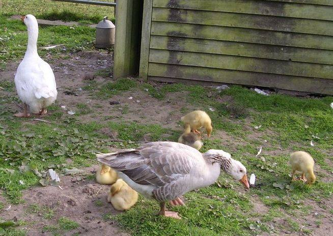 gees and goslings