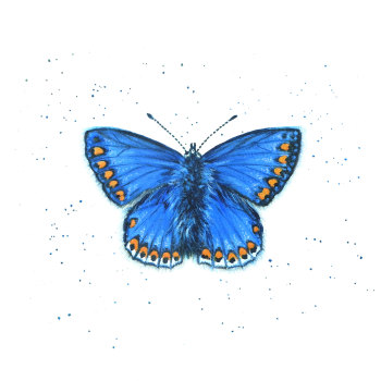 Common Blue Butterfly Mini print