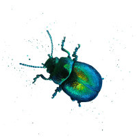 Tansy Beetle Mini Print