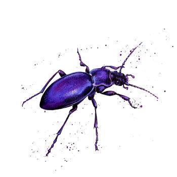 Violet Ground Beetle Card