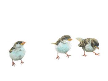 Sparrows PRINT