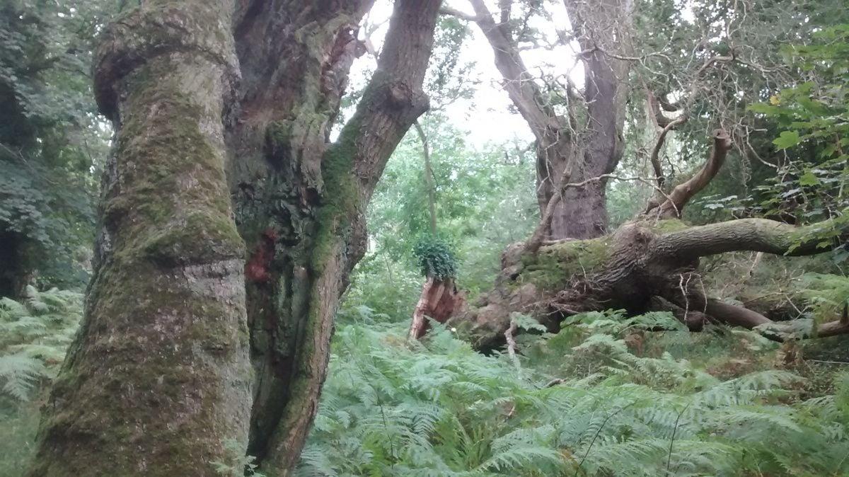 Ancient oak trees in the Ashton Court Estate
