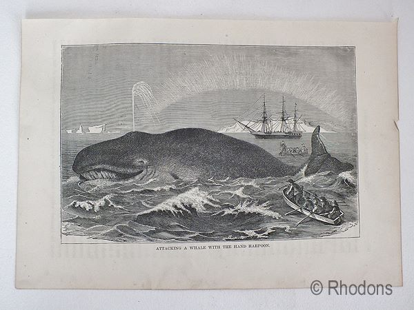 Antique Engraving Print, Attacking The Whale With The Hand Harpoon