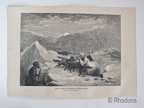 Antique Print - Polar Bear Attacked By Eskimo Dogs