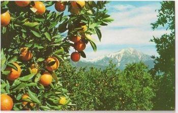 Oranges & Snow, California - Circa 1950s Postcard