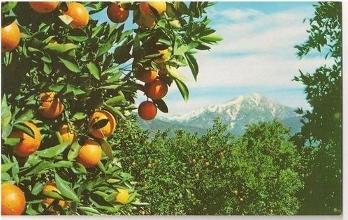 USA: California. Oranges & Snow, California, Circa 1950s Postcard