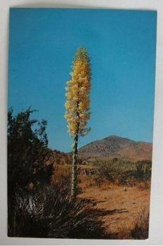 USA: Yucca Plant. 1970s Postcard