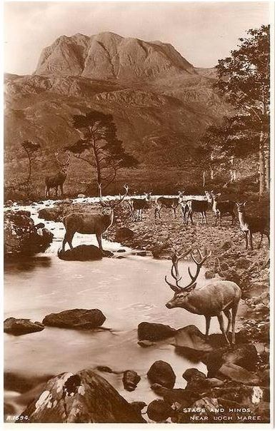 Scotland: Ross-shire. Stags and Hinds Near Loch Maree. 1930s RP Postcard
