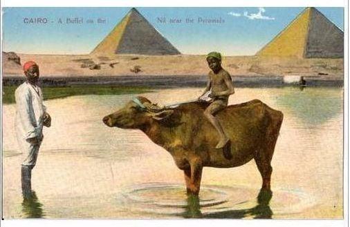 Egypt: Cairo. Buffalo on the Nile Near Pyramids. 1920s Postcard