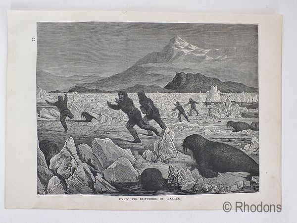 Explorers Disturbed By Walrus. 19th Century Print.
