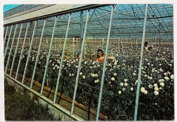 Channel Islands: Jersey. Greenhouse At Haute Tombette Flower Farm, St Mary, 1970s Colour Photo Postcard