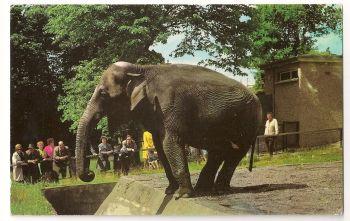 Scotland: Edinburgh. Sally The Indian Elephant At Edinburgh Zoo, Colour Photo Postcard