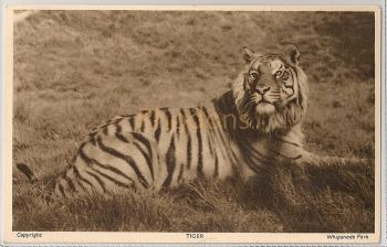 England: Bedfordshire. Tiger At Whipsnade Zoological Park. 1950s Postcard