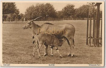 England: Bedfordshire. Eland At Whipsnade Zoological Park. 1950s Postcard