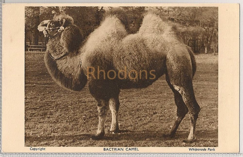 England: Bedfordshire. Bactrian Camel At Whipsnade Zoological Park. 1950s Postcard