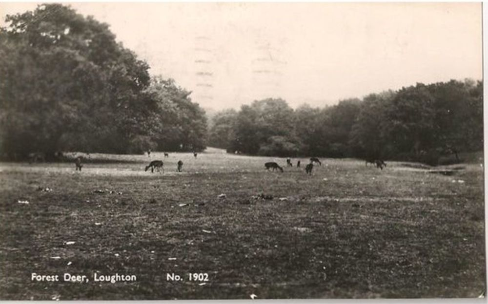 England: Essex. Forest Deer, Loughton, Essex. 1950s Real Photo Postcard