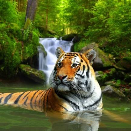 tiger blog 2