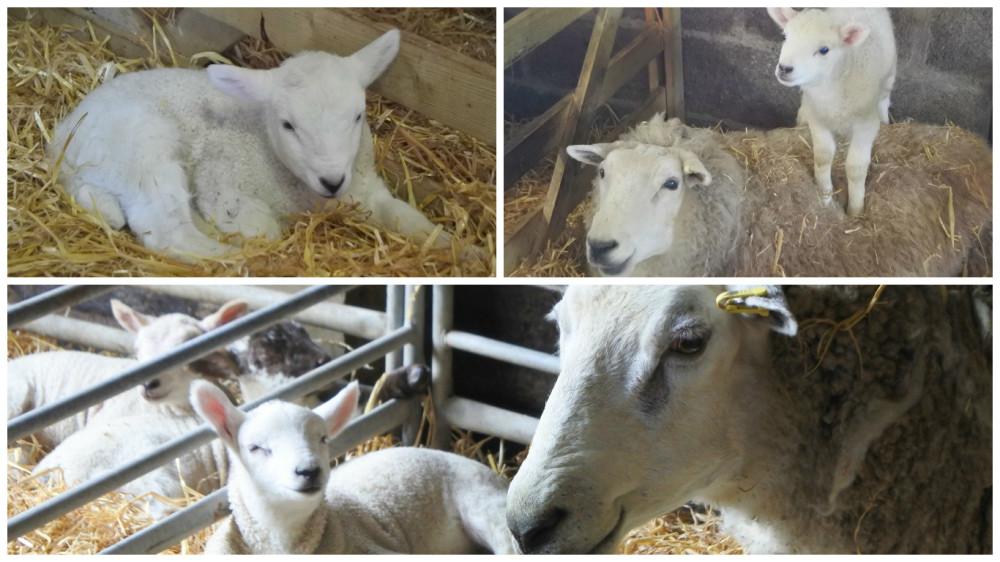 fotor kmc lamb 1