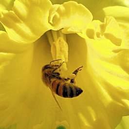 bee daffodil
