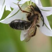 bee with snowdrop1