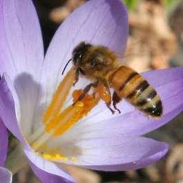bee on crocus